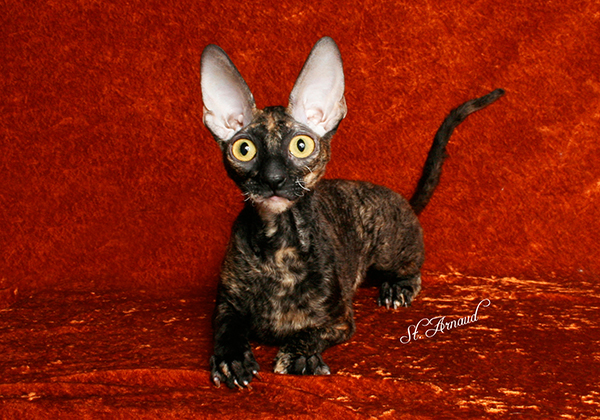 7c6c7393fb KAYLEE Cornish Rex Cattery  Our Retired Cats